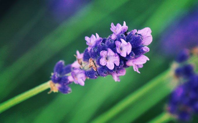 lavender-397959_1280