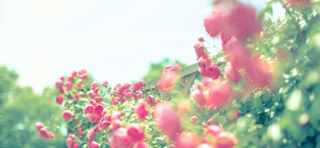 イメージ画像 バラ